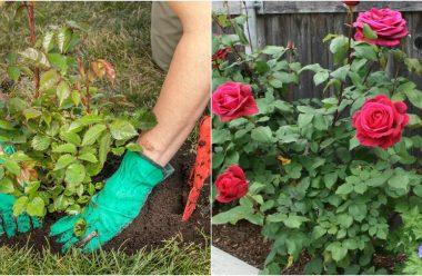 Де краще садити троянди, щоб вони добре прижилися та гарно квітнули