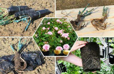 Як правильно пересаджувати троянди на нове місце, щоб вони добре прижилися