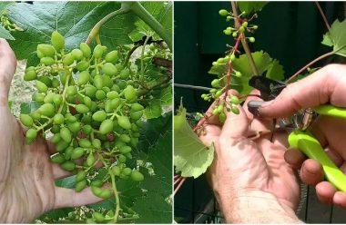 Догляд за виноградом у серпні: що слід зробити, щоб грона були великі та солодкі