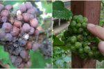 Чому гниють грона винограду, та чим його обробити, щоб вберегти врожай
