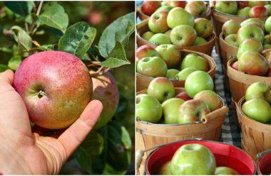 Щоб добре зберігалися яблука взимку, потрібно знати як та коли їх збирати