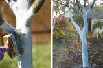 Чому так важливо білити дерева осінню, та як правильно це робити