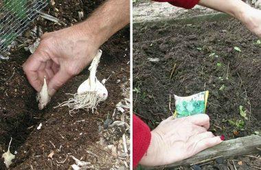 Правила посадки під зиму: часнику, цибулі, моркви та петрушки, щоб мати ранній врожай