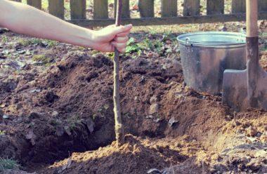 Дерева та кущі, які краще садити осінню, щоб вони добре прижилися