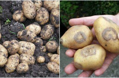 Що робити, щоб картопля після збору не почала загнивати. На замітку городникам