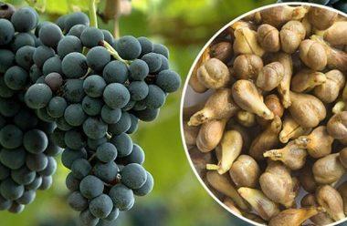 Чому так корисно їсти кісточки винограду, та в чому саме вони допомагають