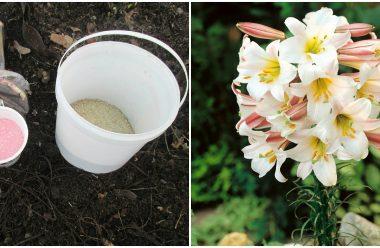 Чим підживити лілію в осінній період, щоб наступного року радувала вас гарним цвітом