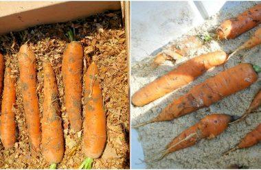 Головні правила зберігання моркви. Так вона не гниє, а зберігається до весни