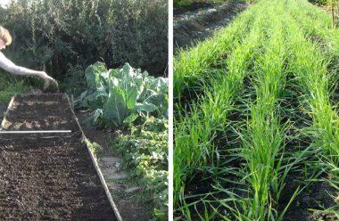 Сидерати які сіють осінню, щоб покращити родючість ґрунту