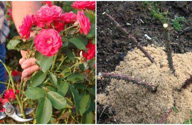 Як правильно доглядати за трояндами осінню, щоб наступного року гарно квітнули
