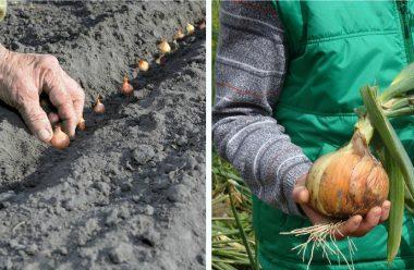 Як правильно садити цибулю під зиму, щоб мати гарний ранній врожай