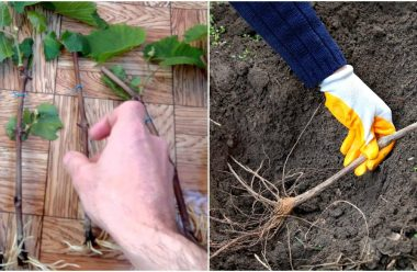 Правила посадки саджанців винограду восени. Щоб добре прижився