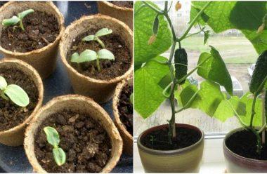 Як виростити огірки на підвіконні, щоб на новий рік мати свої