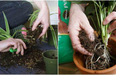 Як правильно та коли пересаджувати кімнатні рослини, щоб вони добре прижилися