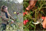 Що потрібно зробити з трояндами у жовтні, щоб в наступному році вони гарно квітнули