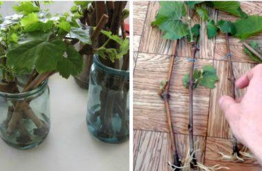 Розмноження винограду з живця, як правильно заготовити пагони, та коли садити