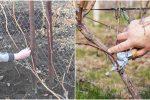 Що необхідно зробити з виноградом восени, щоб він гарно ріс та розвивався
