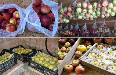 Як правильно зберігати яблука, щоб вони пролежали до весни та не гнили