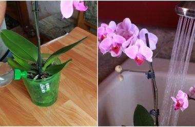Як правильно поливати орхідею, щоб вона гарно цвіла та розвивалася