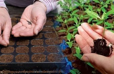 Овочеві культури, які потрібно садити на розсаду вже в лютому