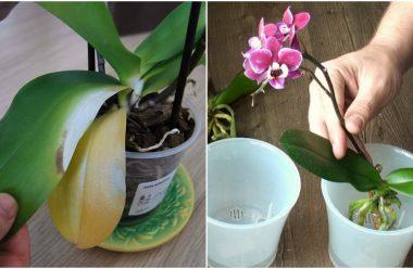 Чому жовтіє листя в орхідеї, та що робити, щоб зберегти квітку