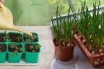 Рослин, які потрібно починати сіяти в січні, щоб мати ранній врожай. Городникам на замітку