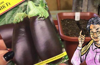 Головні правила вирощування баклажанів. Коли садити на розсаду та як доглядати