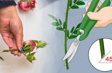 Як обрізати квіти, щоб вони довго стояли та не в'янули. Корисні поради для жінок