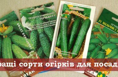 Перевірені сорти огірків для посадки, які дають гарний врожай