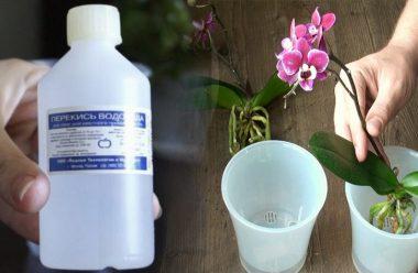 Розчин для поливу орхідеї, щоб гарно росла та весь час квітнула