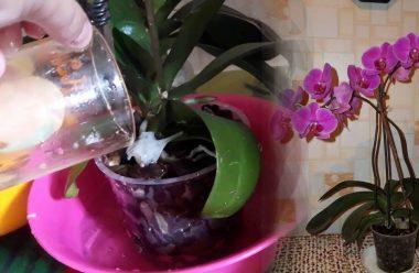 Добриво для орхідеї, яке змусить її цвісти цілий рік