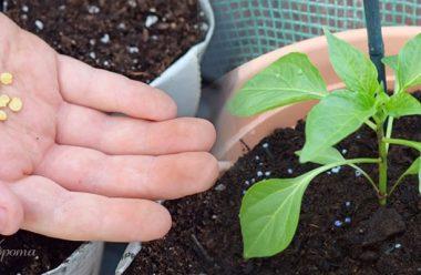 Дієвих методи для підвищення схожості насіння перцю. Городникам на замітку