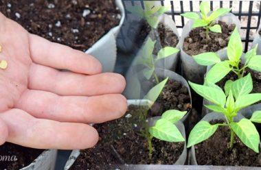 Вирощування розсади перцю. Коли потрібно садити, та як правильно доглядати