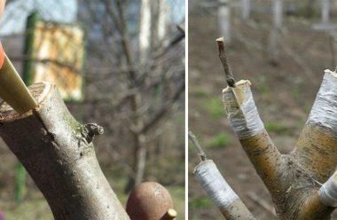 Як правильно нащепити фруктове дерево, щоб воно приносило гарний врожай
