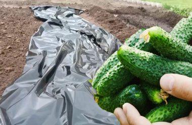 Посадіть огірки цим способом, і можете не поливати цілий рік