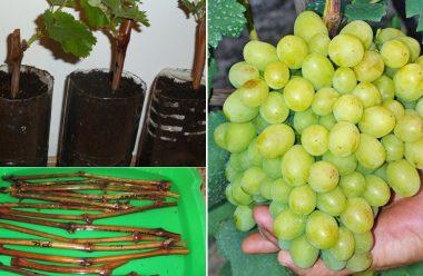 Як правильно посадити та укоренити живці винограду на початку весни, щоб добре прижилися