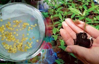 Головні правила при замочуванні насіння перцю і баклажанів на розсаду
