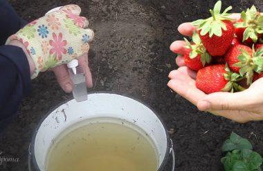 Чим потрібно підживити полуницю навесні, щоб гарно вродила та була солодкою