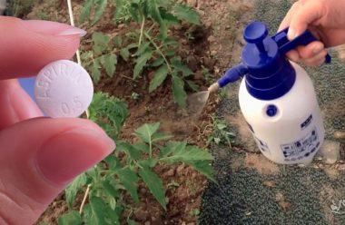 Обробіть цим засобом помідори, щоб захистити їх від хвороб та шкідників