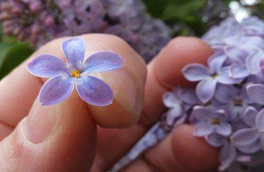 Бузок — як за допомогою цвіту загадувати бажання, щоб воно збулося