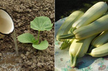 Головні поради для вирощування кабачків. Чим краще підживити, щоб мати гарний врожай