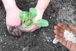 Що покласти в лунку при висадці капусти, щоб добре прижилася та виросла великою