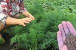 Що потрібно зробити, щоб мати густий та темно зелений кріп. Поради для городників