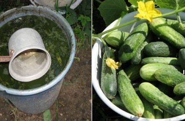 Органічне добриво для гарного осту огірків. Як правильно приготувати, та коли вносити