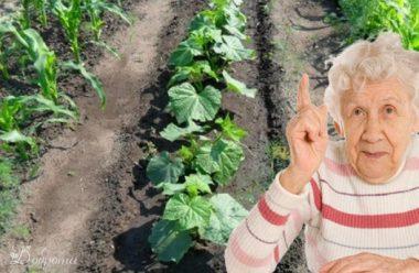 Ніколи не садіть ці три культури поруч з огірками, щоб не втратити врожай
