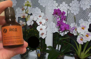 Якщо ваша орхідея довго не цвіте, обробіть її цим дієвим засобом. Результат помітно вже через тиждень