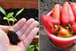 Як правильно пікірувати розсаду перцю, що добре прижилась та дала щедрий врожай