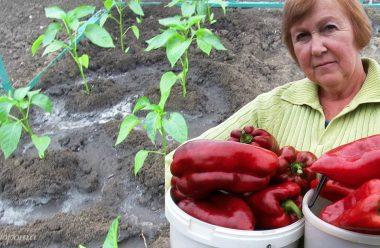 Головні правила вирощування перцю. Дотримуюсь їх, і збираю завжди гарний врожай