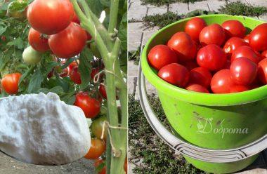 Добриво на основі соди, яким підгодовую помідори, і збираю врожай відрами