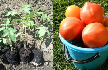 Новий метод посадки помідорів — 4 рослини в одну лунку. Врожай будете збирати відрами